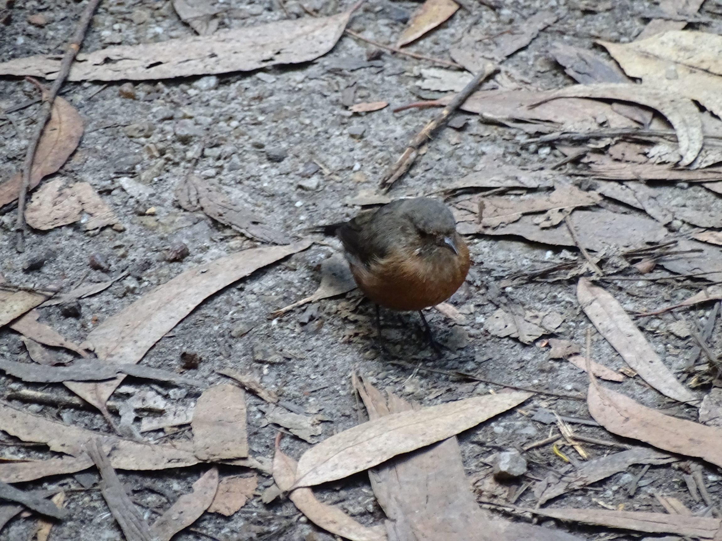 Rock warbler / Origma (Origma solitaria)