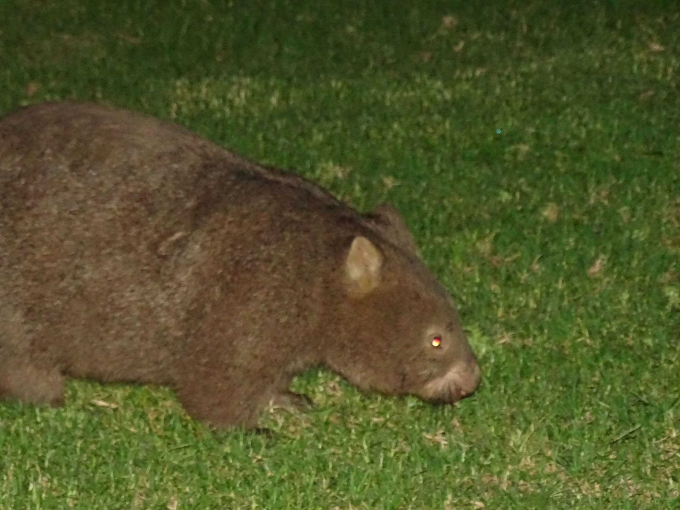 Wombat (This picture is taken with the help of my friend David)