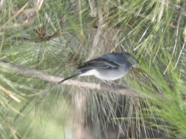 Blue chaffinch Fringilla teydea