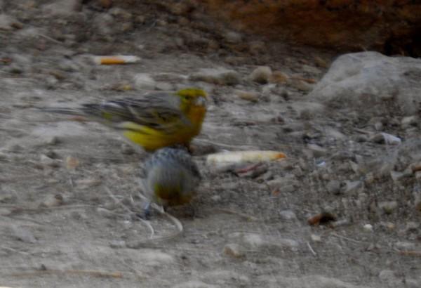 Atlantic canary Serinus canaria