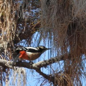 Great spotted woodpecker dendrocropos major canariensis