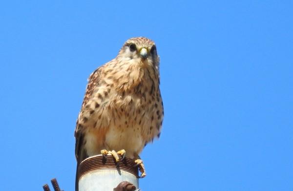 Falco tinnunculus canariensis