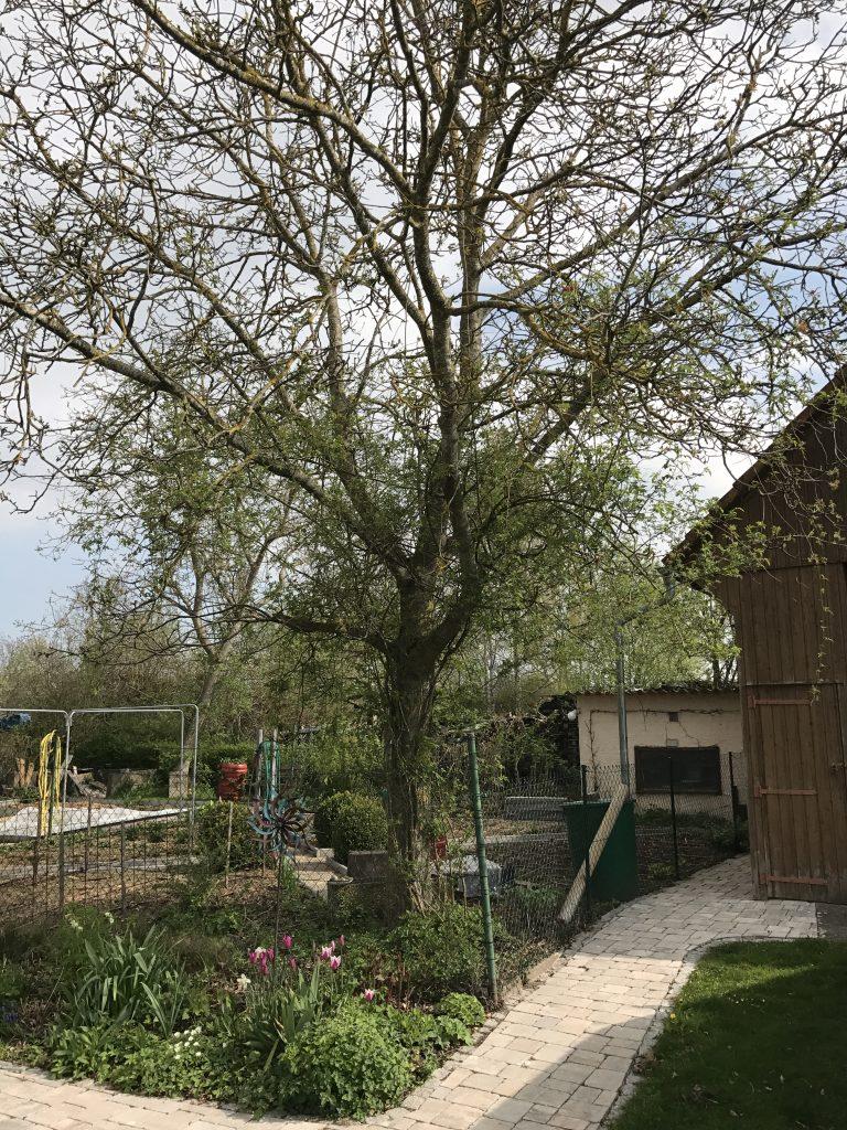 Walnußbaum im Gemüsegarten mit Ramblerrose Pauls Himalayan Musk