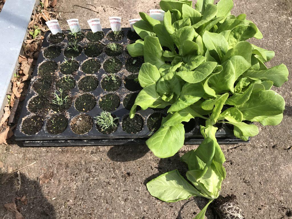 Salat Jungpflanzen fertig für den Umzug ins Beet