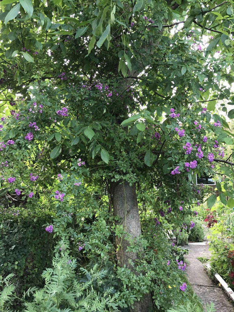 Walnußbaum mit Ramblerrose Rose Marie Vieaud