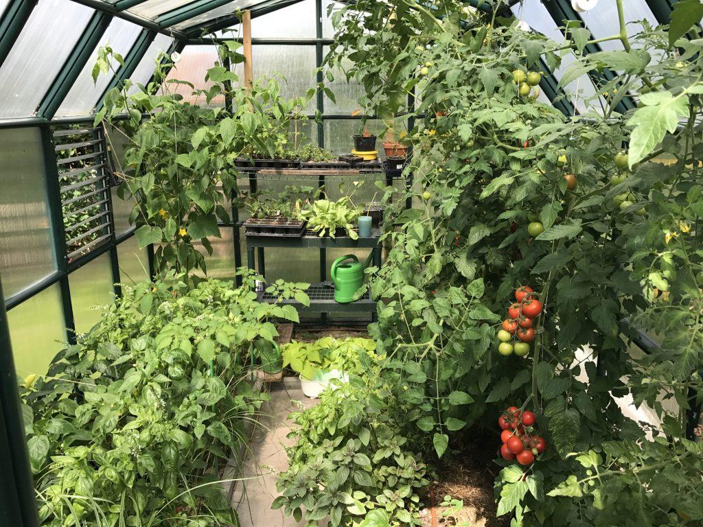 Gemüse im Gewächshaus im Sommer