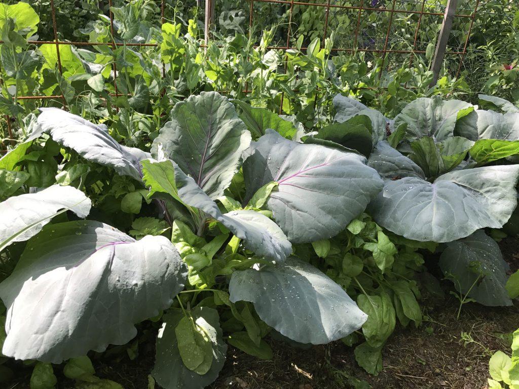 Blaukraut mit Spinat als Gründünger vor Erbsen