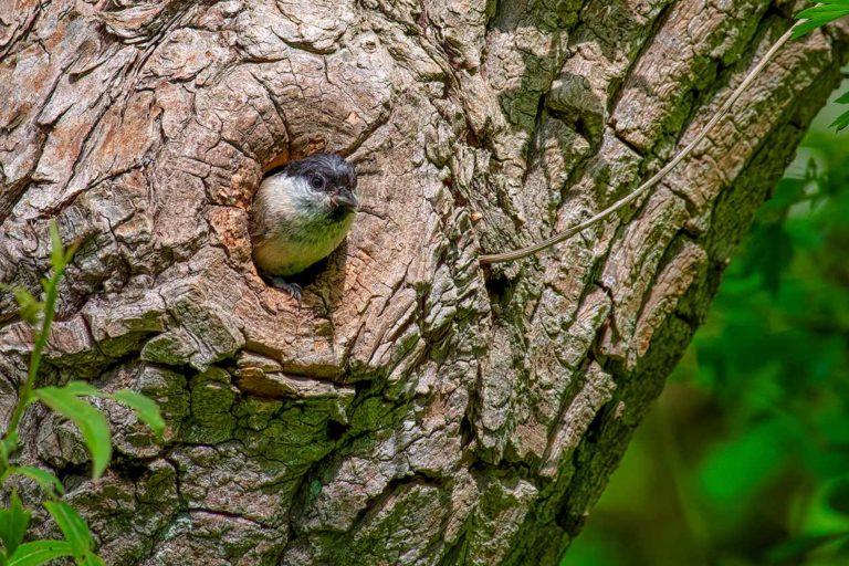 sumpmejse-ved-træ