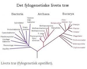 Fylogenetisk trae 2 Skægmejse