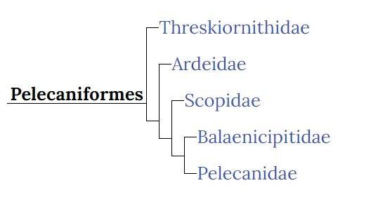 Peliucaniformes sølvhejre