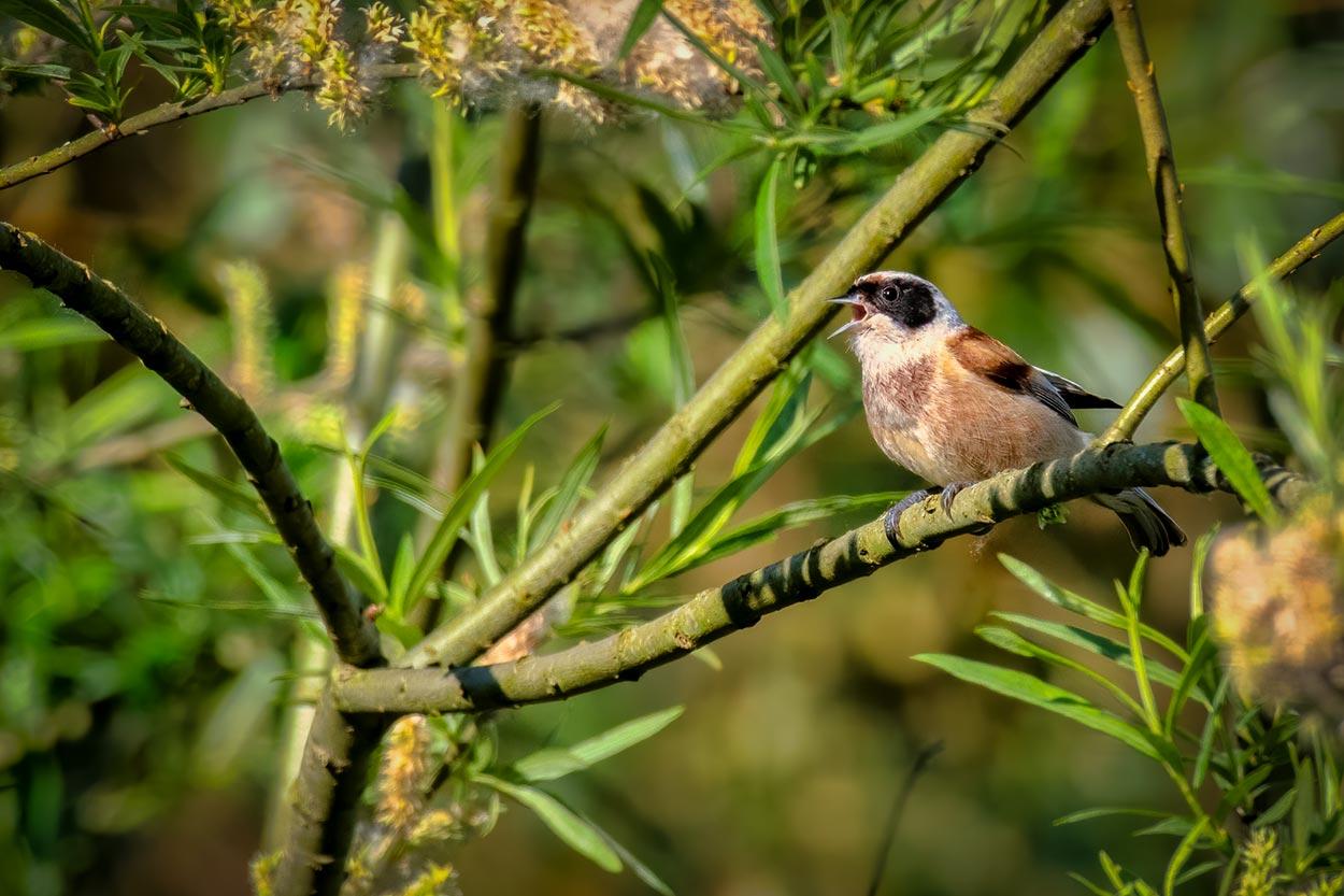 pungmejse en sjælden fugl