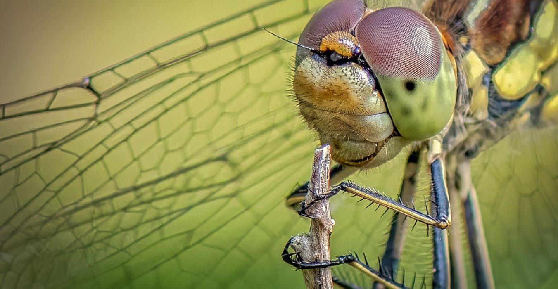 guldsmede