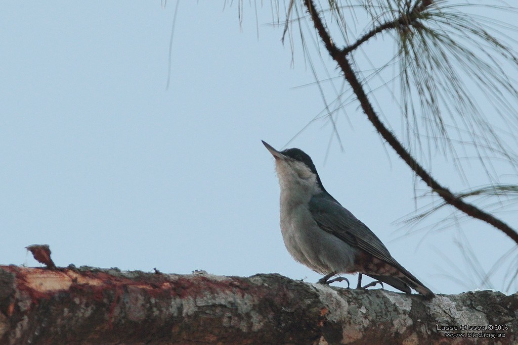 giantnuthatchlarge