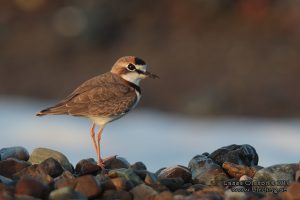collaredplover