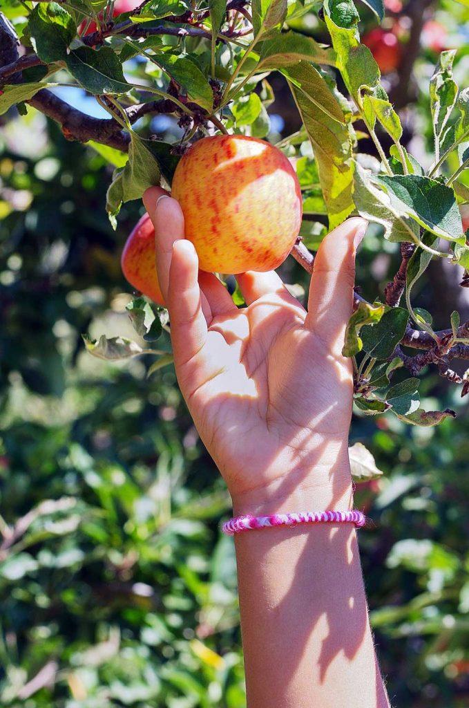 Fruit Picking in Deutschland: als Erntehelfer beim Äpfelpflücken helfen.