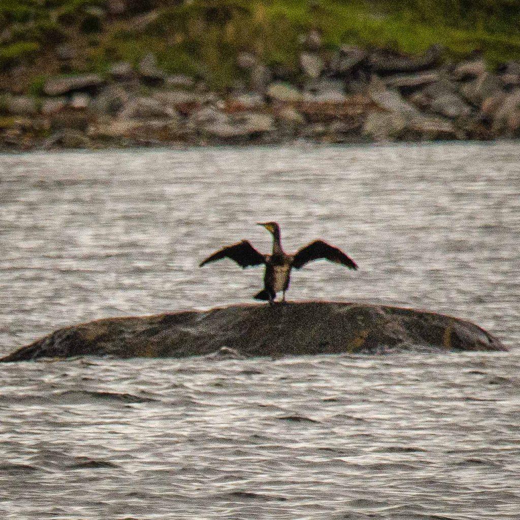 Storskarv til tørk ein ofter sett sjøfugl