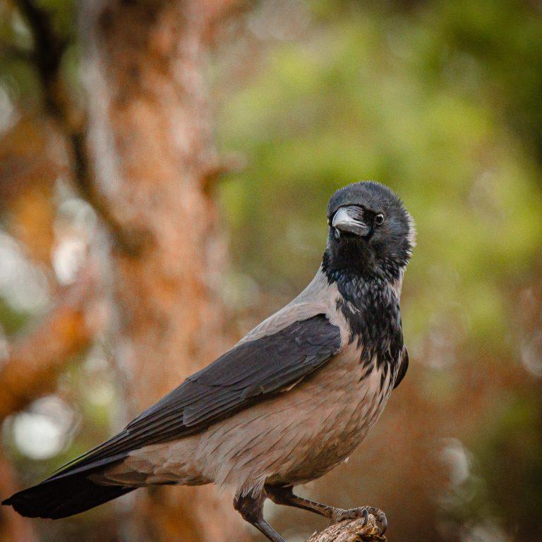 Fotoskjul med bilde av kråke i skogen
