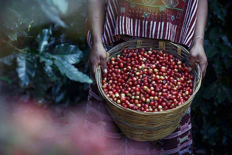 Kvinna i färgglada kläder i sydamerika på kaffeplantage håller en flätad korg full med färska röda och gula kaffebönor som sedan blir kaffe
