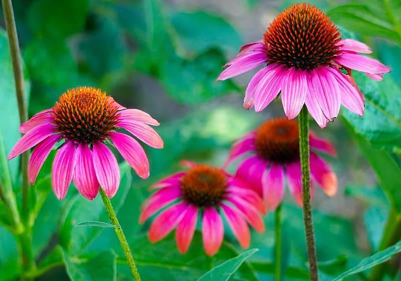 echinacea röd solhatt, Karolines way of life hälsoblogg