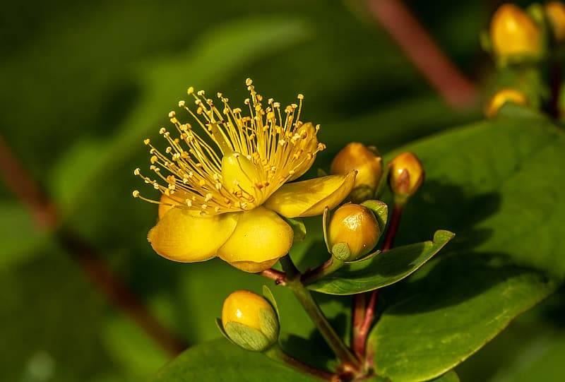 gul blomma av äkta johannesört, Hypericum perforatum, effektiv vid depressioner Karolines way of life hälsoblogg