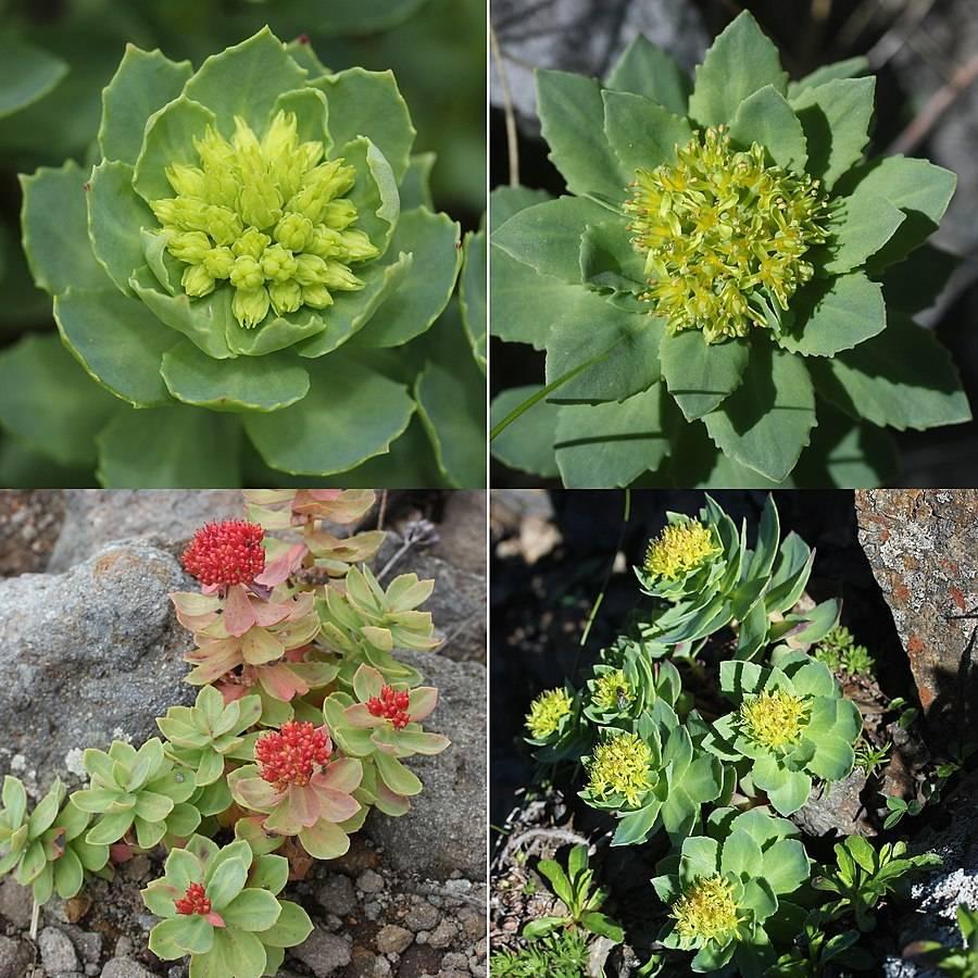 Fyra olika bilder på rosenrot, rhodiola rosea, två bilder med honblomman och två bilder med hanblomman. Örten växter ur stening mark med gröna kaktusliknande blad och antingen gula eller rosa blommor. Adaptogena örter