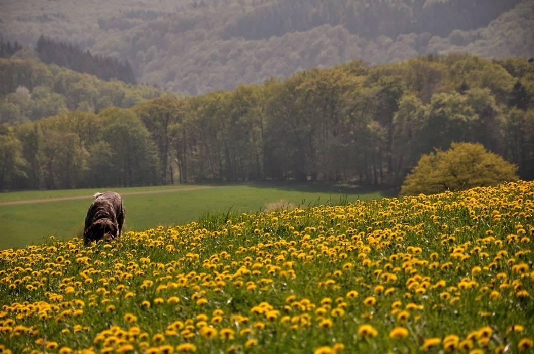 Hund går genom fält med gula maskrosor vid skog på en solig dag