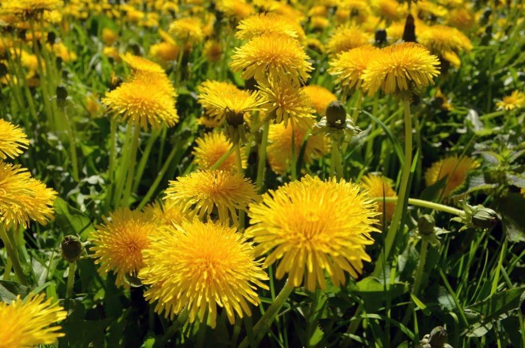 många gula maskrosor på gräsmatta under våren i solen, vilda ätbara växter