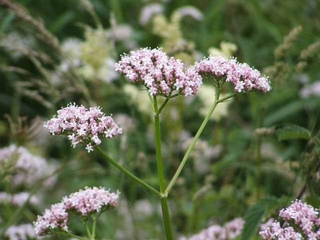 rosa vita blommor av vänderot, valeriana officinalis, på gröna stjälkar i rabbatt med många andra vänderotsväxter. Stjälkarna är uppdelade i tre med en blomma på varsin. Avslpannande ört som förbättrar sömn