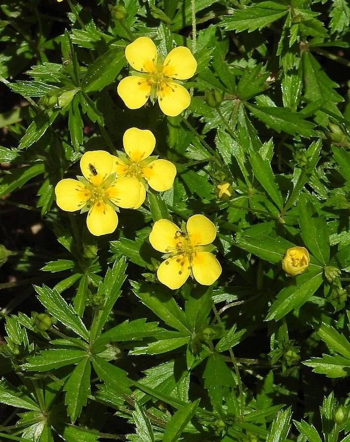 Små gula blommor av blodrot, potentilla erecta. Blomman har fyra kronblad och gröna blad. Roten är röd. Stoppar blod