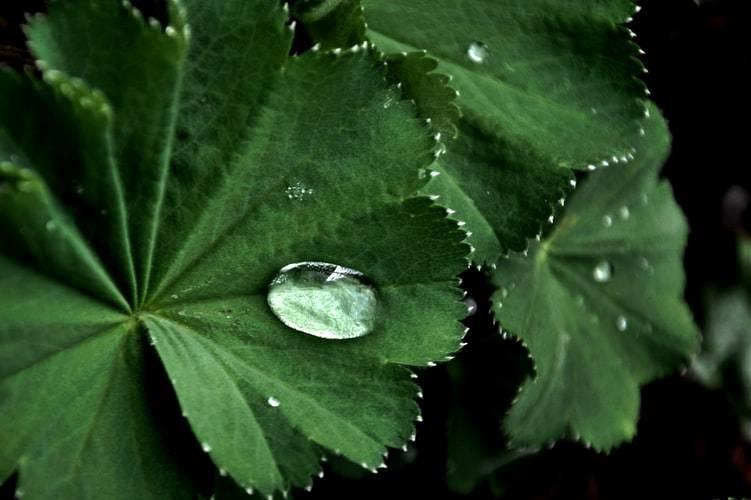 Droppar på daggkåpa, alchemilla vulgaris. Närbild på tre blad med droppar på sig.