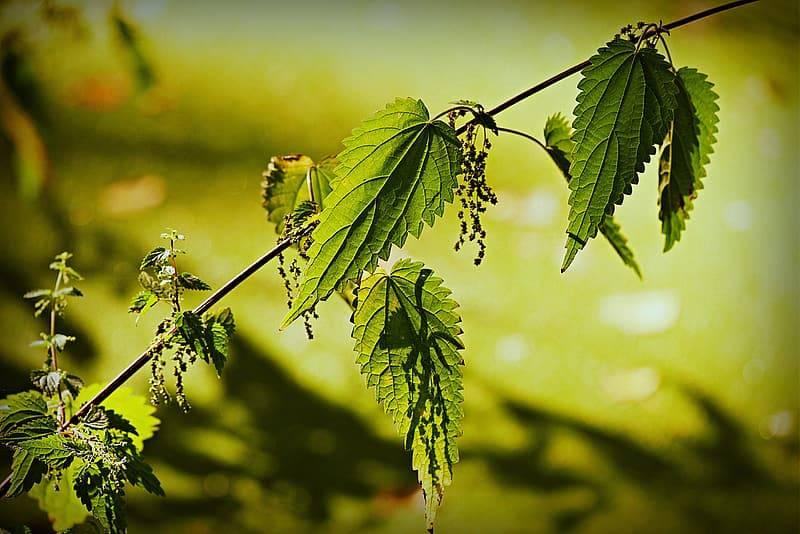 en gren av brännässla med stam, gröna blad och frön. Brännässla på sensommaren när blommorna blommat ut och fröna slagit ut. Bladen är fortfarande gröna och fina