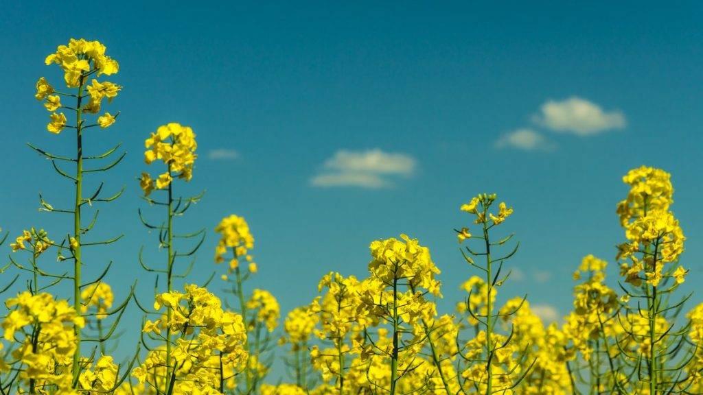 gula blommor av raps på rapsfält. Fotot är taget snett nedifrån så man ser rapsblommorna mot den blåa himlmen en solig dag. Det finns några små vita moln på himlen. Blomorna står i fullblom med sin gula färg. raps som en del av den nordiska dieten