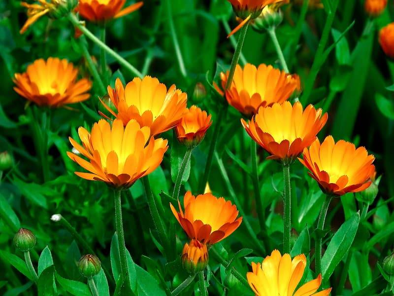 Oranga ringblommor står i solen med gröna blad och skälkar. Många ringblommor blommar samt att det finns knoppar, sårläkande växter