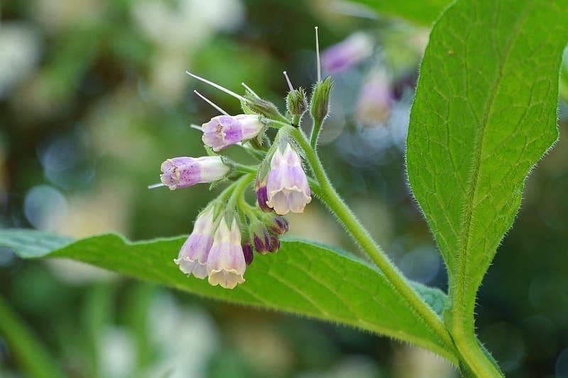 klase rosalila blommor av vallört, symphytum officinale, med gröna ludna blad. Bilden är tagen med klasen och bladen i fokus och andra blommor av vallört i oskärpa i bakgrunden. Läker sår
