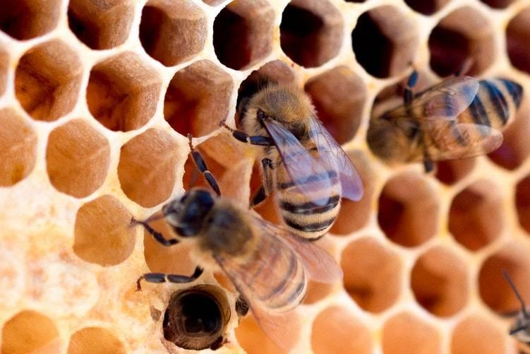 Honungsbin jobbar i vaxkakan i bikupa. Bina samlar nektar från växter och blommor och har kommit tillbaka till bukupan för att lämna nektarn som blir till honung. Fyra bin syns på bilden som är en närbild på hålen i vaxkakan. Bina kryper in i hålen.