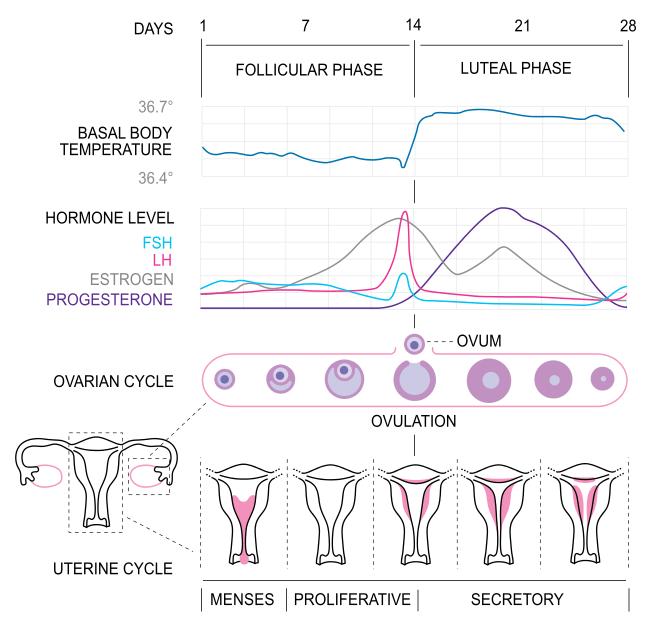 Den kvinnliga hormonella menscyklen på engelska. Bild på hur östrogen, progesteron och andra kvinnliga hormoner förändras under månaden. Samt hur livmodern ser ut under de olika stadierna av den hormonella cykeln. Follikelfas och lutealfas.