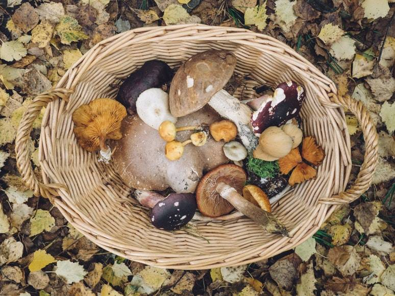Svampar av olika slag ligger i en korg som står på marken full med gula höstlöv. I korgen ligger svampar med olika former och färger. Korgen har två handtag på sidorna