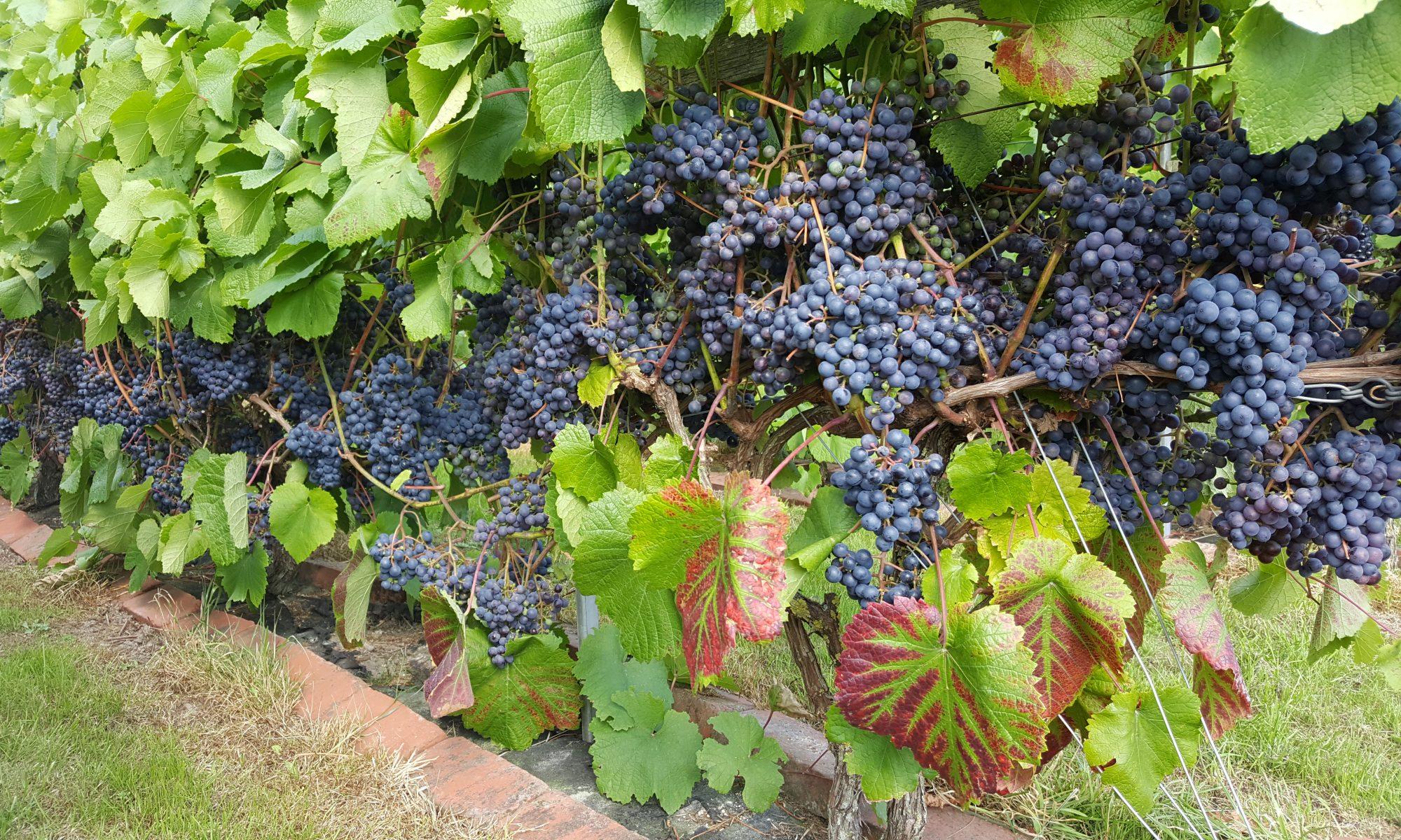 Wineyard, Domaine Nyballe
