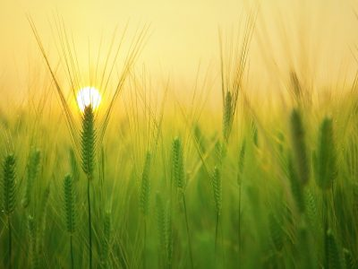 barley field, wheat, agriculture