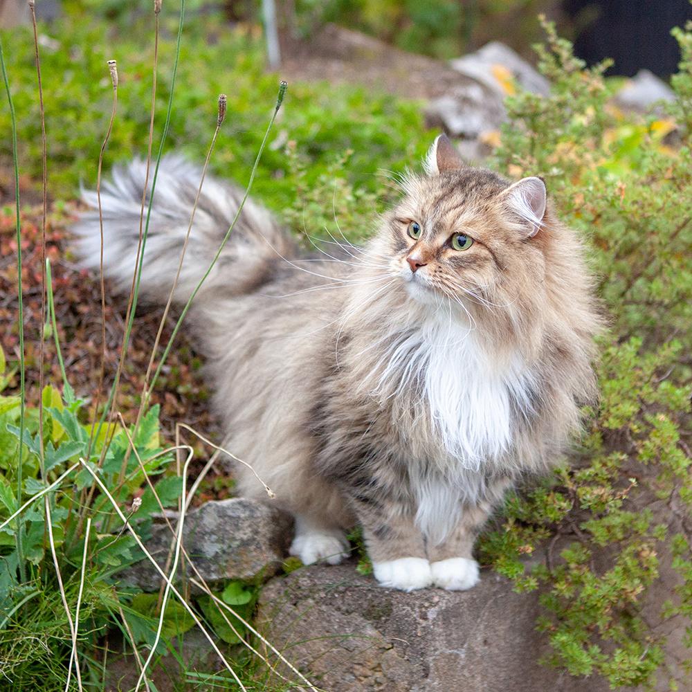 Katt som husdjur