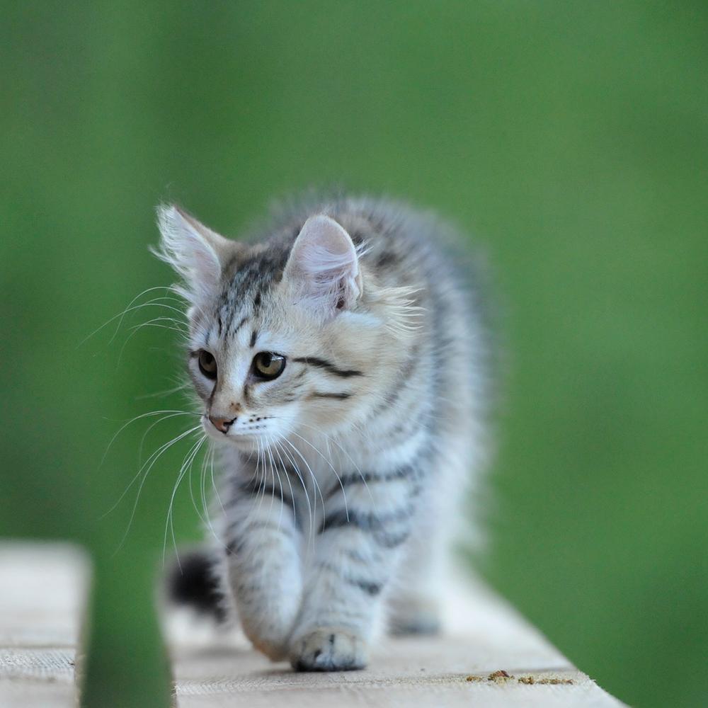 Myter om Katten