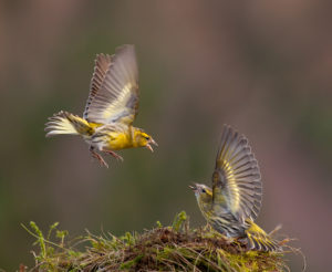 1st > Quarrelsome Siskins By Graham Pears