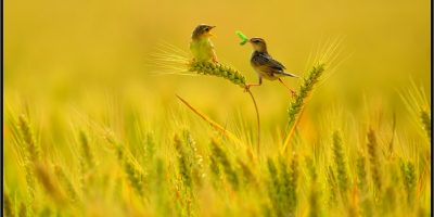 PAGB Gold - Best Ornithological