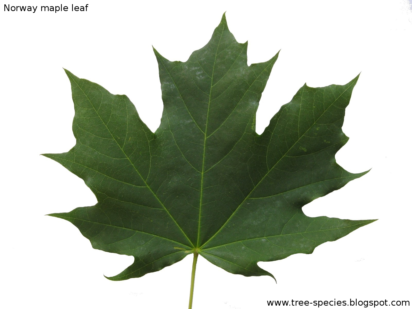 Acer platanoides Norway maple leaf