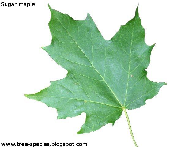 Acer saccharum Sugar maple leaf