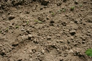 Parcelle maïs stade allumette à 2 feuilles après un passage de houe rotative