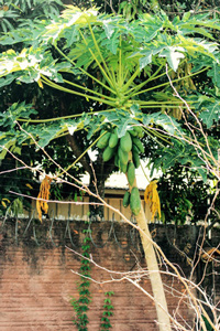 Rastlina papáje
