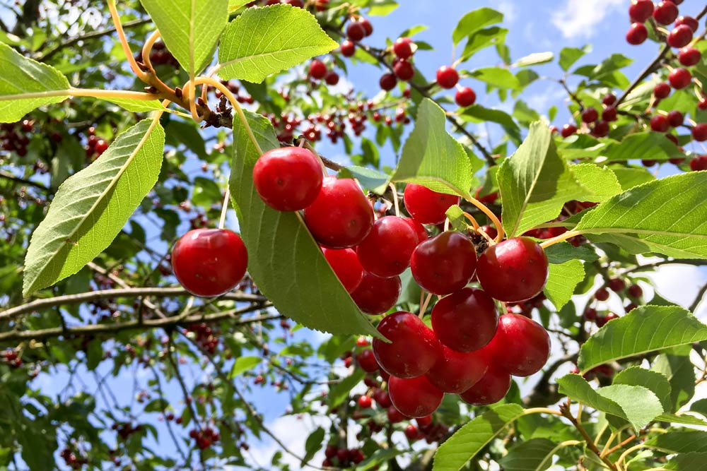 Sour cherry special: how to preserve sour cherries?