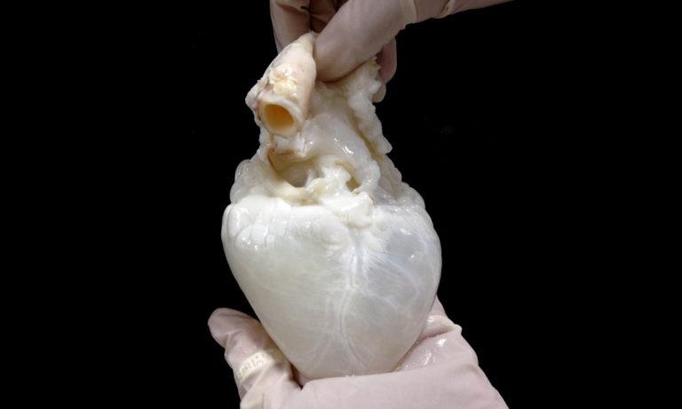 Spökhjärtan ska lindra brist på donatororgan
