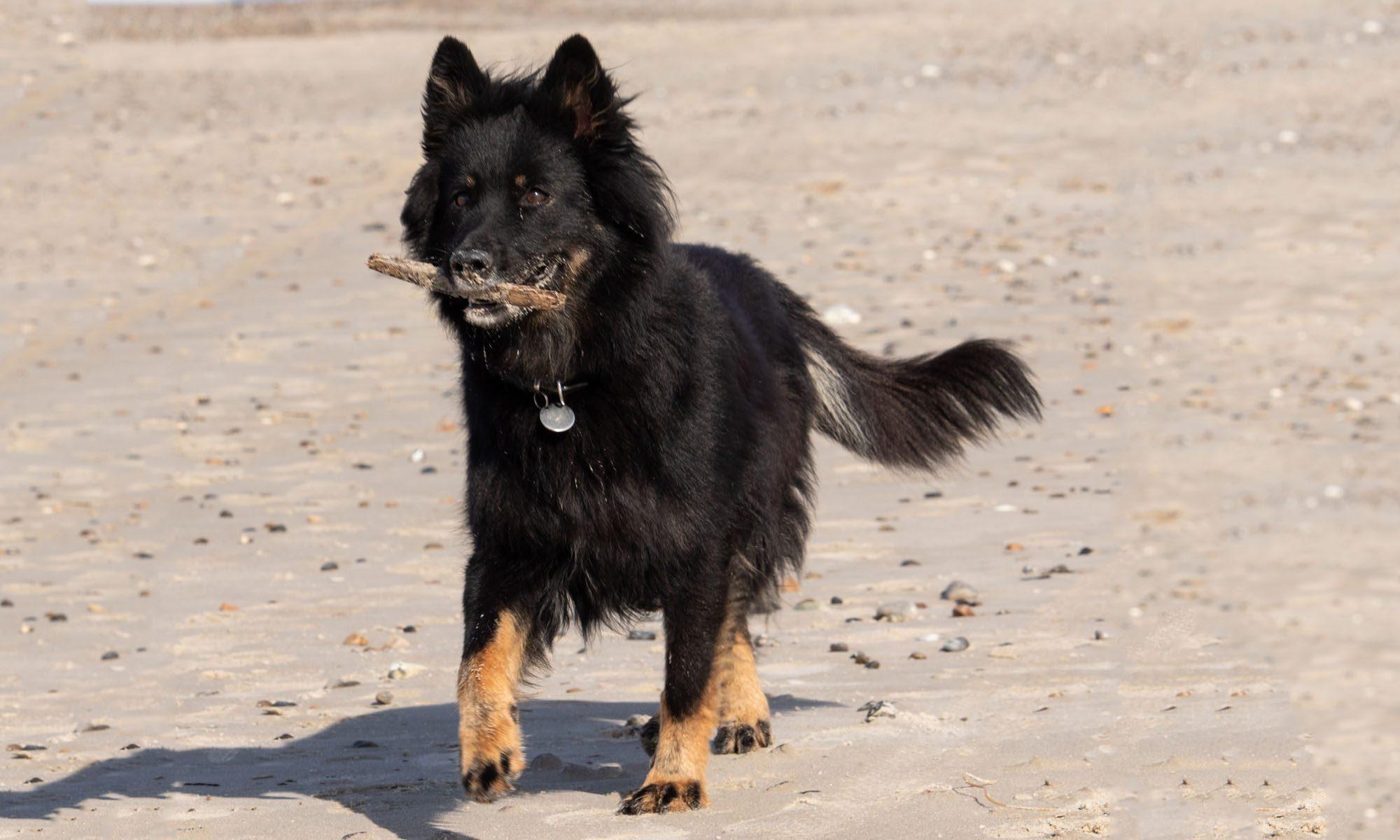 Chodsky-pes.dk